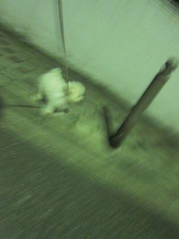 ビションフリーゼフントヒュッテ東京子犬こいぬかわいいビションフリーゼブリーダーかわいいビションフリーゼのいるお店文京区本駒込hundehutte仔犬ビション358.jpg