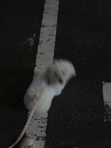 ビションフリーゼフントヒュッテ東京子犬こいぬかわいいビションフリーゼブリーダーかわいいビションフリーゼのいるお店文京区本駒込hundehutte仔犬ビション361.jpg