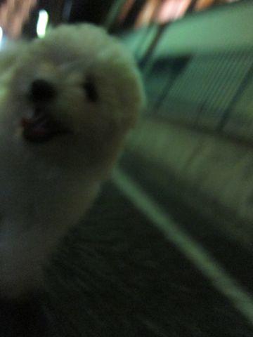 ビションフリーゼフントヒュッテ東京子犬こいぬかわいいビションフリーゼブリーダーかわいいビションフリーゼのいるお店文京区本駒込hundehutte仔犬ビション364.jpg