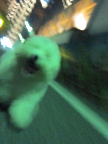 ビションフリーゼフントヒュッテ東京子犬こいぬかわいいビションフリーゼブリーダーかわいいビションフリーゼのいるお店文京区本駒込hundehutte仔犬ビション365.jpg