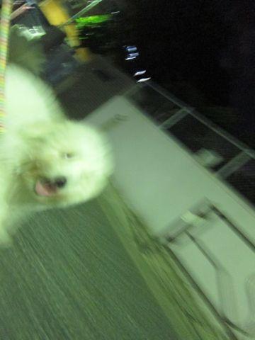 ビションフリーゼフントヒュッテ東京子犬こいぬかわいいビションフリーゼブリーダーかわいいビションフリーゼのいるお店文京区本駒込hundehutte仔犬ビション371.jpg