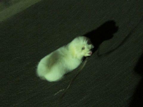 ビションフリーゼフントヒュッテ東京子犬こいぬかわいいビションフリーゼブリーダーかわいいビションフリーゼのいるお店文京区本駒込hundehutte仔犬ビション372.jpg
