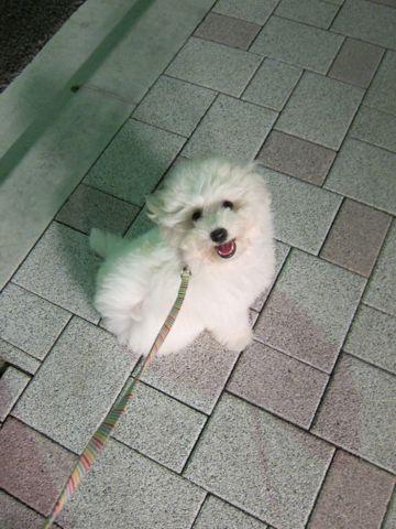 ビションフリーゼフントヒュッテ東京子犬こいぬかわいいビションフリーゼブリーダーかわいいビションフリーゼのいるお店文京区本駒込hundehutte仔犬ビション373.jpg