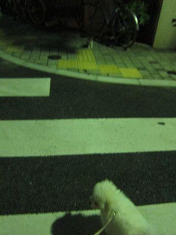 ビションフリーゼフントヒュッテ東京子犬こいぬかわいいビションフリーゼブリーダーかわいいビションフリーゼのいるお店文京区本駒込hundehutte仔犬ビション377.jpg
