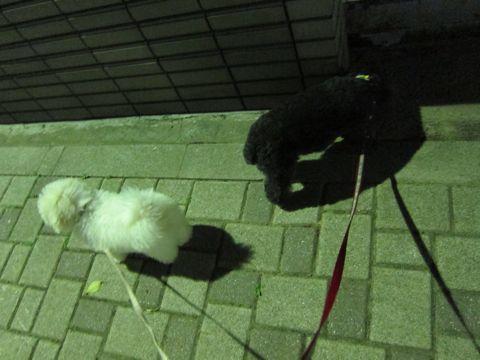 ビションフリーゼフントヒュッテ東京子犬こいぬかわいいビションフリーゼブリーダーかわいいビションフリーゼのいるお店文京区本駒込hundehutte仔犬ビション393.jpg