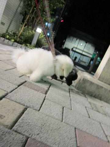 ビションフリーゼフントヒュッテ東京子犬こいぬかわいいビションフリーゼブリーダーかわいいビションフリーゼのいるお店文京区本駒込hundehutte仔犬ビション396.jpg