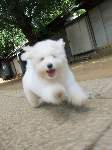 ビションフリーゼフントヒュッテ東京子犬こいぬかわいいビションフリーゼブリーダーかわいいビションフリーゼのいるお店文京区本駒込hundehutte仔犬ビション400.jpg
