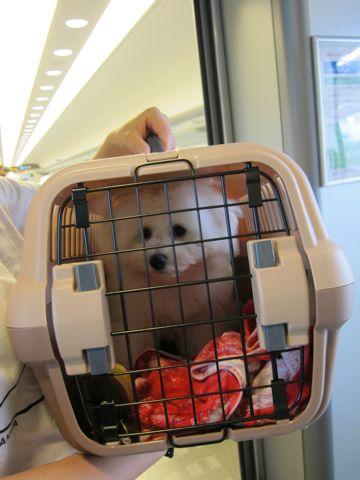 ビションフリーゼフントヒュッテ東京子犬こいぬかわいいビションフリーゼブリーダーかわいいビションフリーゼのいるお店文京区本駒込hundehutte仔犬ビションf.jpg