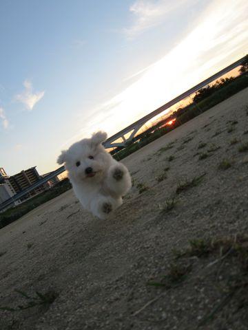 ビションフリーゼフントヒュッテ東京子犬こいぬかわいいビションフリーゼブリーダーかわいいビションフリーゼのいるお店文京区本駒込hundehutte仔犬ビション411.jpg