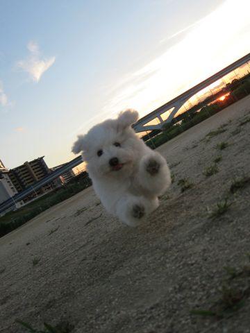 ビションフリーゼフントヒュッテ東京子犬こいぬかわいいビションフリーゼブリーダーかわいいビションフリーゼのいるお店文京区本駒込hundehutte仔犬ビション412.jpg