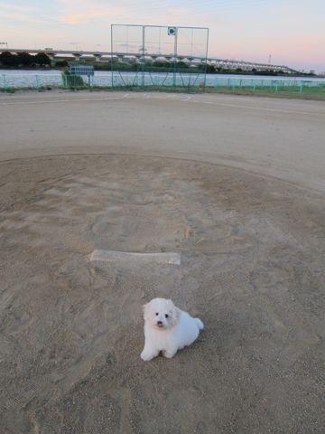 ビションフリーゼフントヒュッテ東京子犬こいぬかわいいビションフリーゼブリーダーかわいいビションフリーゼのいるお店文京区本駒込hundehutte仔犬ビション422.jpg