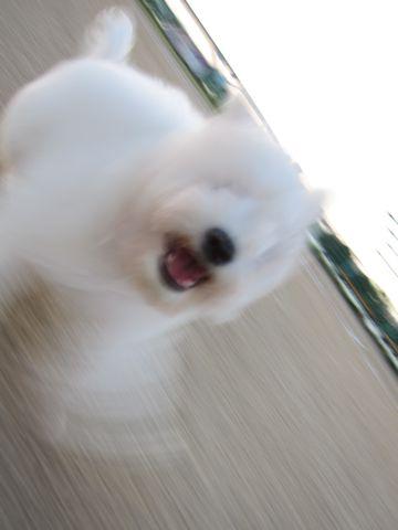 ビションフリーゼフントヒュッテ東京子犬こいぬかわいいビションフリーゼブリーダーかわいいビションフリーゼのいるお店文京区本駒込hundehutte仔犬ビション423.jpg