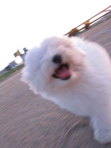 ビションフリーゼフントヒュッテ東京子犬こいぬかわいいビションフリーゼブリーダーかわいいビションフリーゼのいるお店文京区本駒込hundehutte仔犬ビション433.jpg
