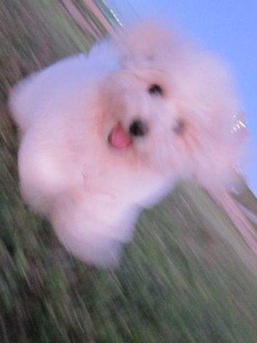 ビションフリーゼフントヒュッテ東京子犬こいぬかわいいビションフリーゼブリーダーかわいいビションフリーゼのいるお店文京区本駒込hundehutte仔犬ビション437.jpg