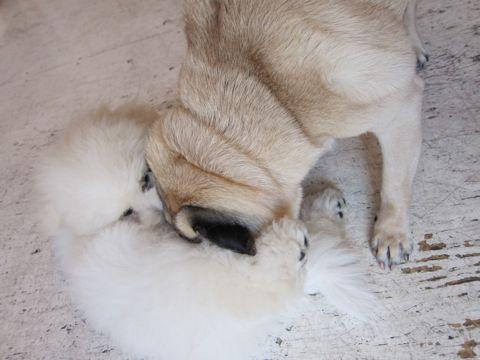 ビションフリーゼフントヒュッテ東京子犬こいぬかわいいビションフリーゼブリーダーかわいいビションフリーゼのいるお店文京区本駒込hundehutte仔犬ビション468.jpg