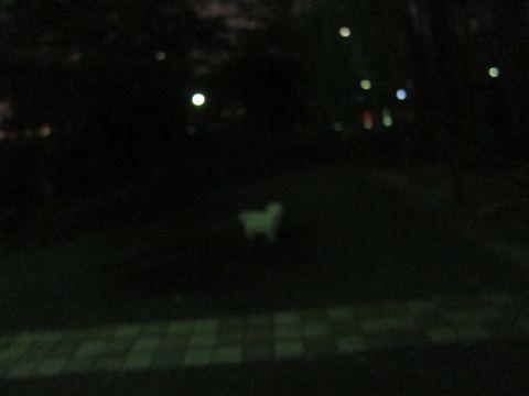 ビションフリーゼフントヒュッテ東京子犬こいぬかわいいビションフリーゼブリーダーかわいいビションフリーゼのいるお店文京区本駒込hundehutte仔犬ビション495.jpg