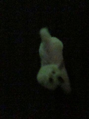 ビションフリーゼフントヒュッテ東京子犬こいぬかわいいビションフリーゼブリーダーかわいいビションフリーゼのいるお店文京区本駒込hundehutte仔犬ビション498.jpg