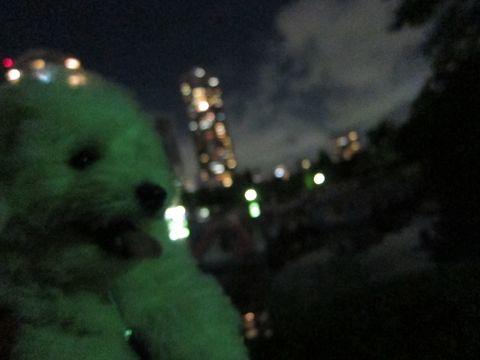 ビションフリーゼフントヒュッテ東京子犬こいぬかわいいビションフリーゼブリーダーかわいいビションフリーゼのいるお店文京区本駒込hundehutte仔犬ビション502.jpg