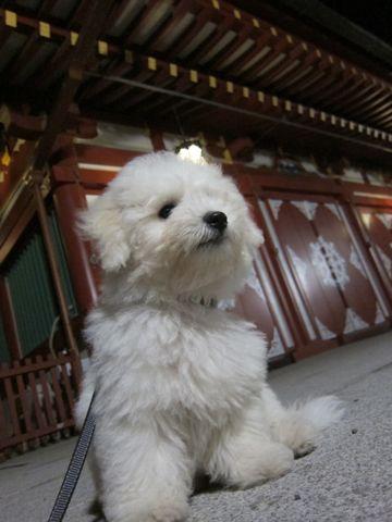 ビションフリーゼフントヒュッテ東京子犬こいぬかわいいビションフリーゼブリーダーかわいいビションフリーゼのいるお店文京区本駒込hundehutte仔犬ビション506.jpg