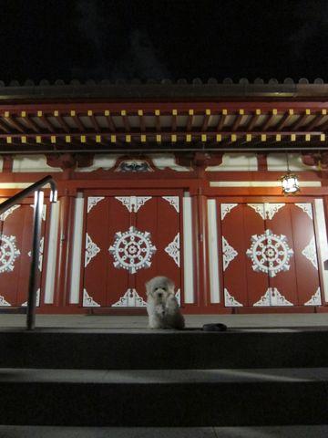 ビションフリーゼフントヒュッテ東京子犬こいぬかわいいビションフリーゼブリーダーかわいいビションフリーゼのいるお店文京区本駒込hundehutte仔犬ビション507.jpg