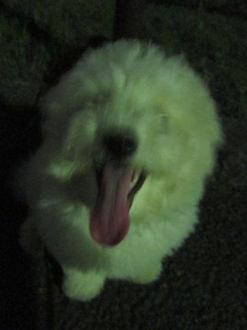 ビションフリーゼフントヒュッテ東京子犬こいぬかわいいビションフリーゼブリーダーかわいいビションフリーゼのいるお店文京区本駒込hundehutte仔犬ビション512.jpg