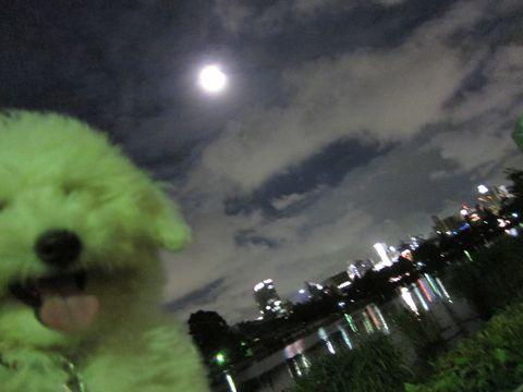 ビションフリーゼフントヒュッテ東京子犬こいぬかわいいビションフリーゼブリーダーかわいいビションフリーゼのいるお店文京区本駒込hundehutte仔犬ビション513.jpg