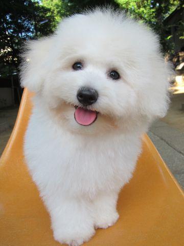 ビションフリーゼフントヒュッテ東京子犬こいぬかわいいビションフリーゼブリーダーかわいいビションフリーゼのいるお店文京区本駒込hundehutte仔犬ビション530.jpg