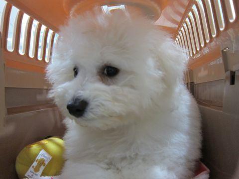 ビションフリーゼフントヒュッテ東京子犬こいぬかわいいビションフリーゼブリーダーかわいいビションフリーゼのいるお店文京区本駒込hundehutte仔犬ビション532.jpg