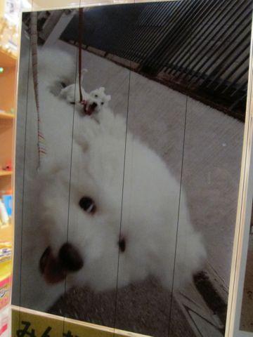 ビションフリーゼフントヒュッテ東京子犬こいぬかわいいビションフリーゼブリーダーかわいいビションフリーゼのいるお店文京区本駒込hundehutte仔犬ビションn.jpg
