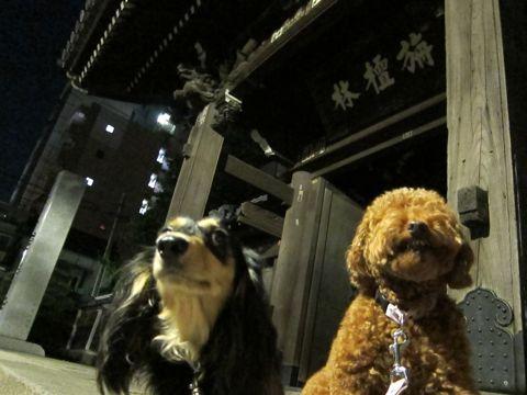トイプードルトリミング駒込フントヒュッテペットホテル犬あずかり東京ナノオゾンペットシャワー使用トリミングサロンハーブパック効果hundehutte文京区32.jpg
