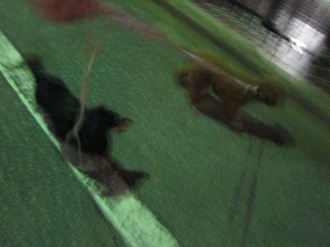 トイプードルトリミング駒込フントヒュッテペットホテル犬あずかり東京ナノオゾンペットシャワー使用トリミングサロンハーブパック効果hundehutte文京区37.jpg