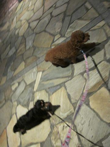 トイプードルトリミング駒込フントヒュッテペットホテル犬あずかり東京ナノオゾンペットシャワー使用トリミングサロンハーブパック効果hundehutte文京区41.jpg