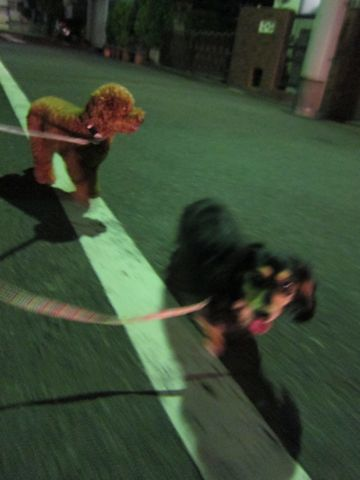 トイプードルトリミング駒込フントヒュッテペットホテル犬あずかり東京ナノオゾンペットシャワー使用トリミングサロンハーブパック効果hundehutte文京区42.jpg