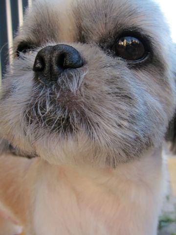 シーズートリミング文京区フントヒュッテナノオゾンペットシャワー使用トリミングサロン駒込白山千駄木根津後楽園犬のトリミングhundehutteシーズーカットシー・ズー7.jpg