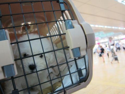 ビションフリーゼフントヒュッテ東京関東ビションフリーゼ子犬情報こいぬかわいいかわいいビションフリーゼのいるお店文京区本駒込hundehutte仔犬ビションフリーゼ3.jpg