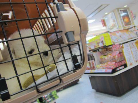 ビションフリーゼフントヒュッテ東京関東ビションフリーゼ子犬情報こいぬかわいいかわいいビションフリーゼのいるお店文京区本駒込hundehutte仔犬ビションフリーゼ4.jpg