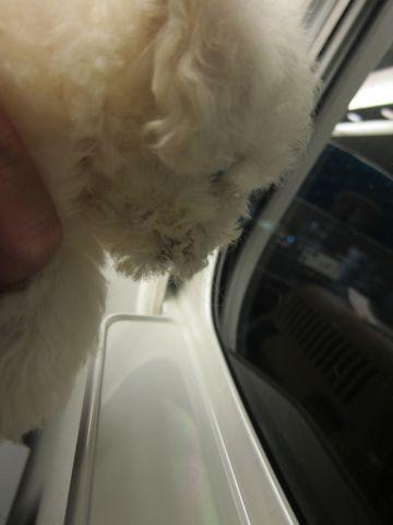 ビションフリーゼフントヒュッテ東京関東ビションフリーゼ子犬情報こいぬかわいいかわいいビションフリーゼのいるお店文京区本駒込hundehutte仔犬ビションフリーゼ6.jpg