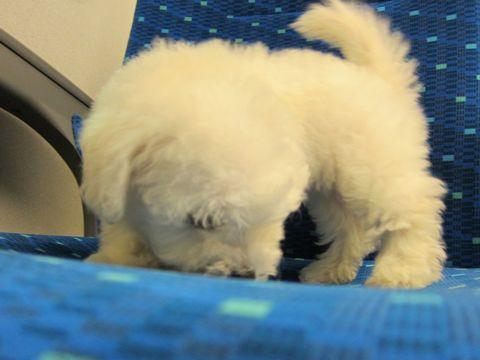 ビションフリーゼフントヒュッテ東京関東ビションフリーゼ子犬情報こいぬかわいいかわいいビションフリーゼのいるお店文京区本駒込hundehutte仔犬ビションフリーゼ8.jpg