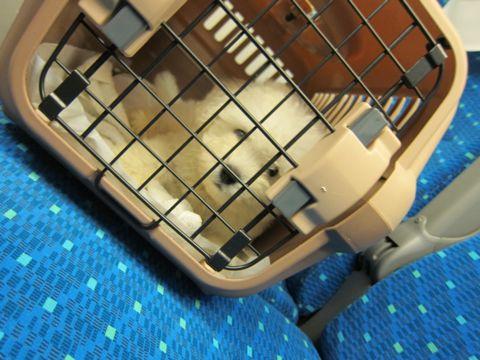 ビションフリーゼフントヒュッテ東京関東ビションフリーゼ子犬情報こいぬかわいいかわいいビションフリーゼのいるお店文京区本駒込hundehutte仔犬ビションフリーゼ9.jpg