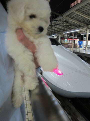 ビションフリーゼフントヒュッテ東京関東ビションフリーゼ子犬情報こいぬかわいいかわいいビションフリーゼのいるお店文京区本駒込hundehutte仔犬ビションフリーゼ12.jpg