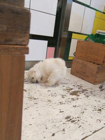 ビションフリーゼフントヒュッテ東京関東ビションフリーゼ子犬情報こいぬかわいいかわいいビションフリーゼのいるお店文京区本駒込hundehutte仔犬ビションフリーゼ15.jpg