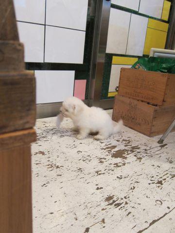 ビションフリーゼフントヒュッテ東京関東ビションフリーゼ子犬情報こいぬかわいいかわいいビションフリーゼのいるお店文京区本駒込hundehutte仔犬ビションフリーゼ16.jpg