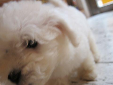 ビションフリーゼフントヒュッテ東京関東ビションフリーゼ子犬情報こいぬかわいいかわいいビションフリーゼのいるお店文京区本駒込hundehutte仔犬ビションフリーゼ30.jpg