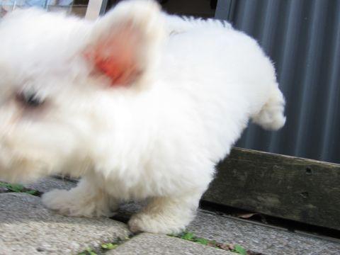 ビションフリーゼフントヒュッテ東京関東ビションフリーゼ子犬情報こいぬかわいいかわいいビションフリーゼのいるお店文京区本駒込hundehutte仔犬ビションフリーゼ43.jpg