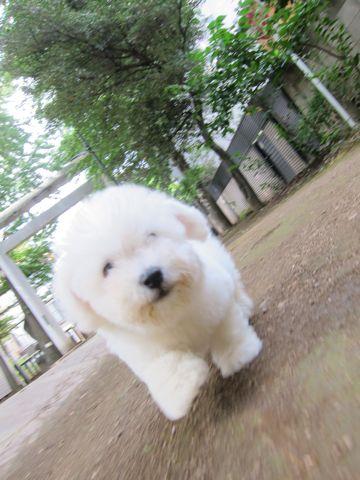 ビションフリーゼフントヒュッテ東京関東ビションフリーゼ子犬情報こいぬかわいいかわいいビションフリーゼのいるお店文京区本駒込hundehutte仔犬ビションフリーゼ48.jpg