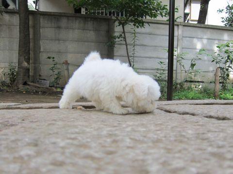 ビションフリーゼフントヒュッテ東京関東ビションフリーゼ子犬情報こいぬかわいいかわいいビションフリーゼのいるお店文京区本駒込hundehutte仔犬ビションフリーゼ49.jpg