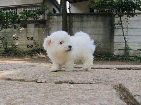 ビションフリーゼフントヒュッテ東京関東ビションフリーゼ子犬情報こいぬかわいいかわいいビションフリーゼのいるお店文京区本駒込hundehutte仔犬ビションフリーゼ50.jpg