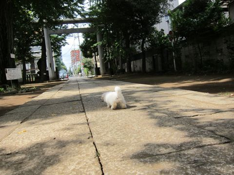 ビションフリーゼフントヒュッテ東京関東ビションフリーゼ子犬情報こいぬかわいいかわいいビションフリーゼのいるお店文京区本駒込hundehutte仔犬ビションフリーゼ51.jpg