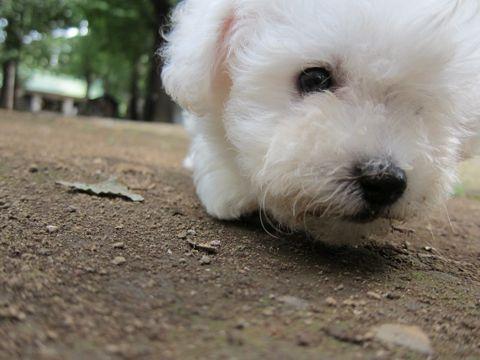 ビションフリーゼフントヒュッテ東京関東ビションフリーゼ子犬情報こいぬかわいいかわいいビションフリーゼのいるお店文京区本駒込hundehutte仔犬ビションフリーゼ53.jpg