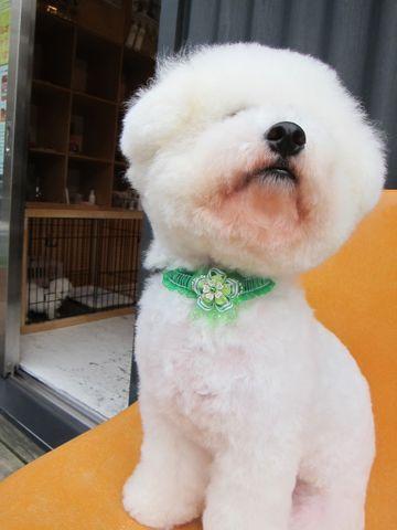 ビションフリーゼフントヒュッテ東京関東ビションフリーゼ子犬情報こいぬかわいいかわいいビションフリーゼのいるお店文京区本駒込hundehutte仔犬ビションフリーゼ57.jpg